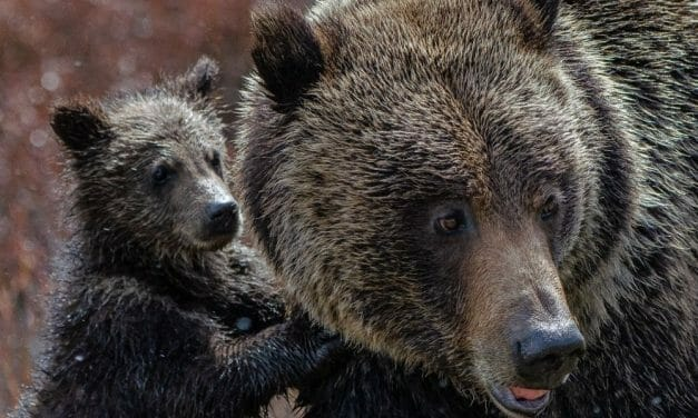 SIGN: Don't Execute Mother Bear and Cubs Just for Living Close to Road