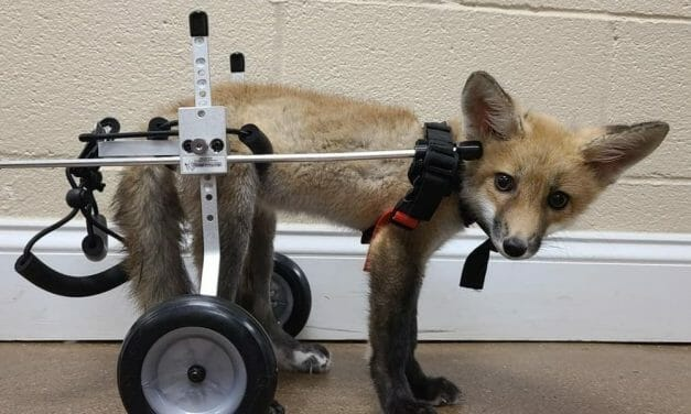 VIDEO: Disabled Fox Is Happily Welcomed Into New Home at Wildlife Center