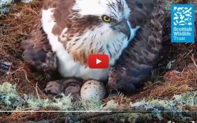 osprey mom and hatchling
