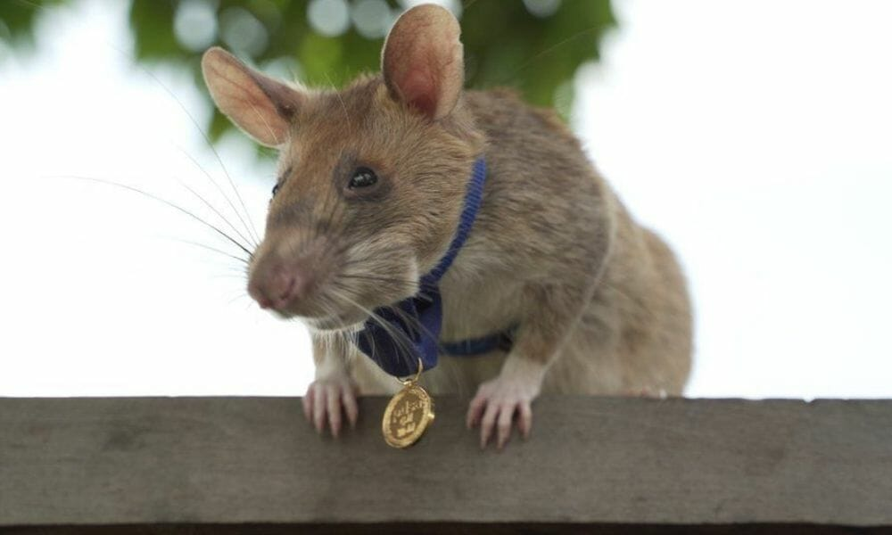 Magawa the Rat Is Retiring a Hero After Detecting Over 70 Active Landmines in Cambodia