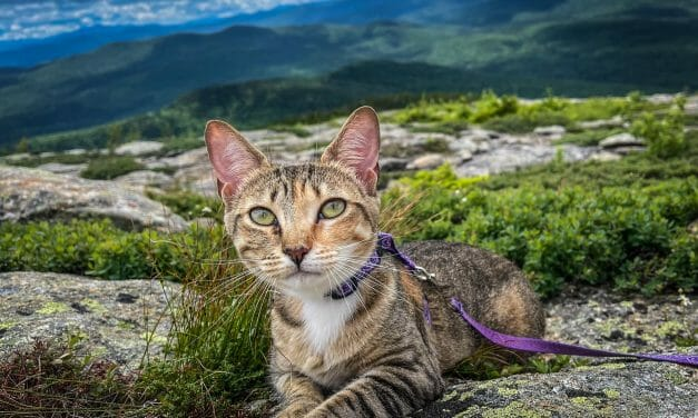 Ain't No Mountain High Enough: Floki the Rescue Cat Climbs to the Top of New Hampshire's 48 Tallest Peaks