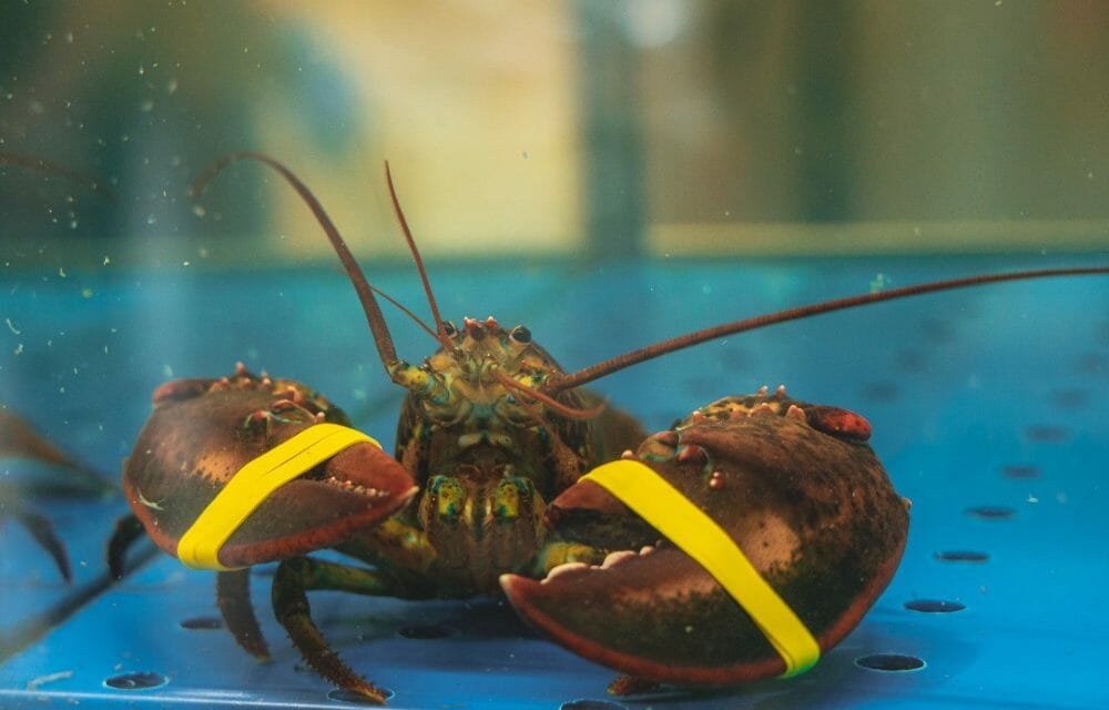 SIGN: Stop Lobsters From Being Boiled and Dismembered Alive in the UK