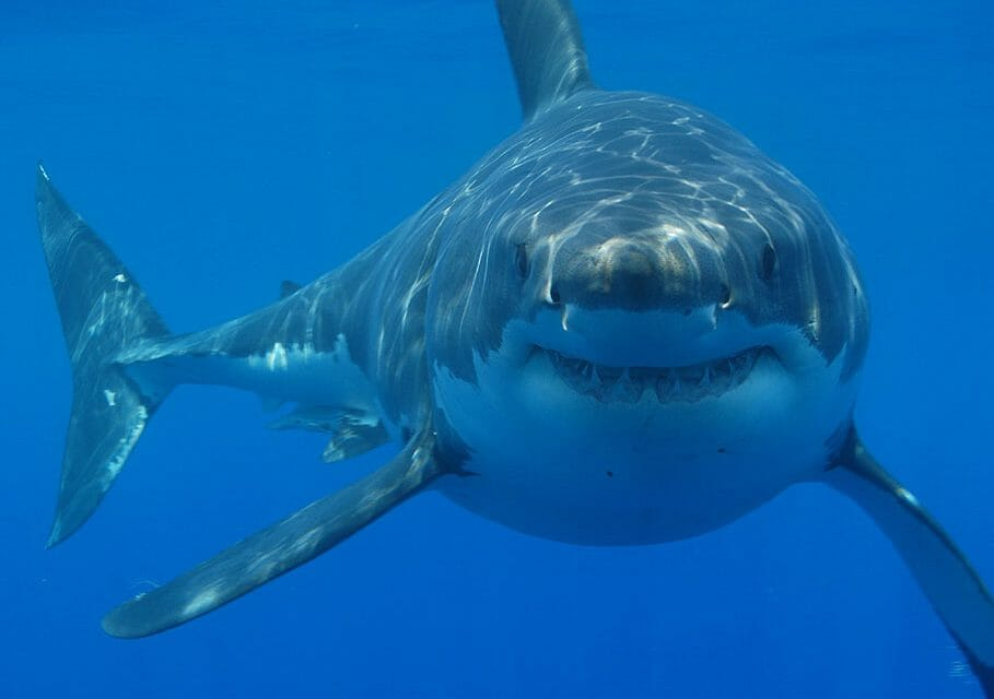 4 Fascinating Facts About Sharks and Why We Should Protect Them