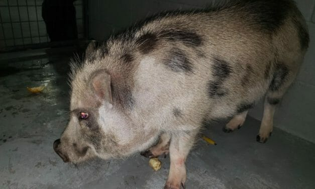 Harold the Abandoned Potbellied Pig Adopted by Kind Investigator