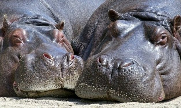 SIGN: Ban Ivory Sales From Poached Hippos, Walruses and Whales