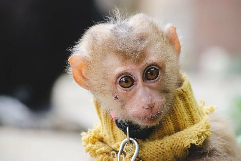 SIGN: Ban Sales of Baby Monkeys as 'Pets' in the US
