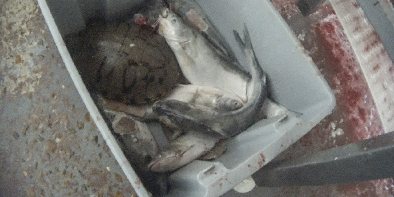 Fish and Turtles Ground Up Alive at Slaughterhouse Supplying Kroger and Cracker Barrel, Undercover Investigation Reveals
