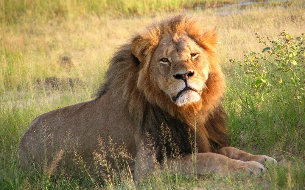 SIGN: Justice for Mopane, Beloved Lion Brutally Killed with Bow and Arrow