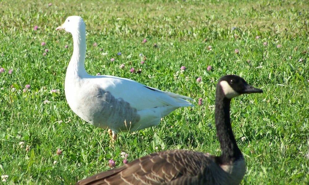 Rare Albino Goose Spotting Shocks Wildlife Refuge Worker