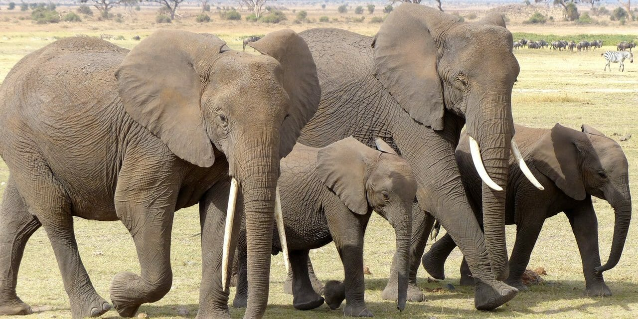 More Than 4,000 New Elephants in Kenya Show Anti-Poaching Efforts Work, Wildlife Census Confirms
