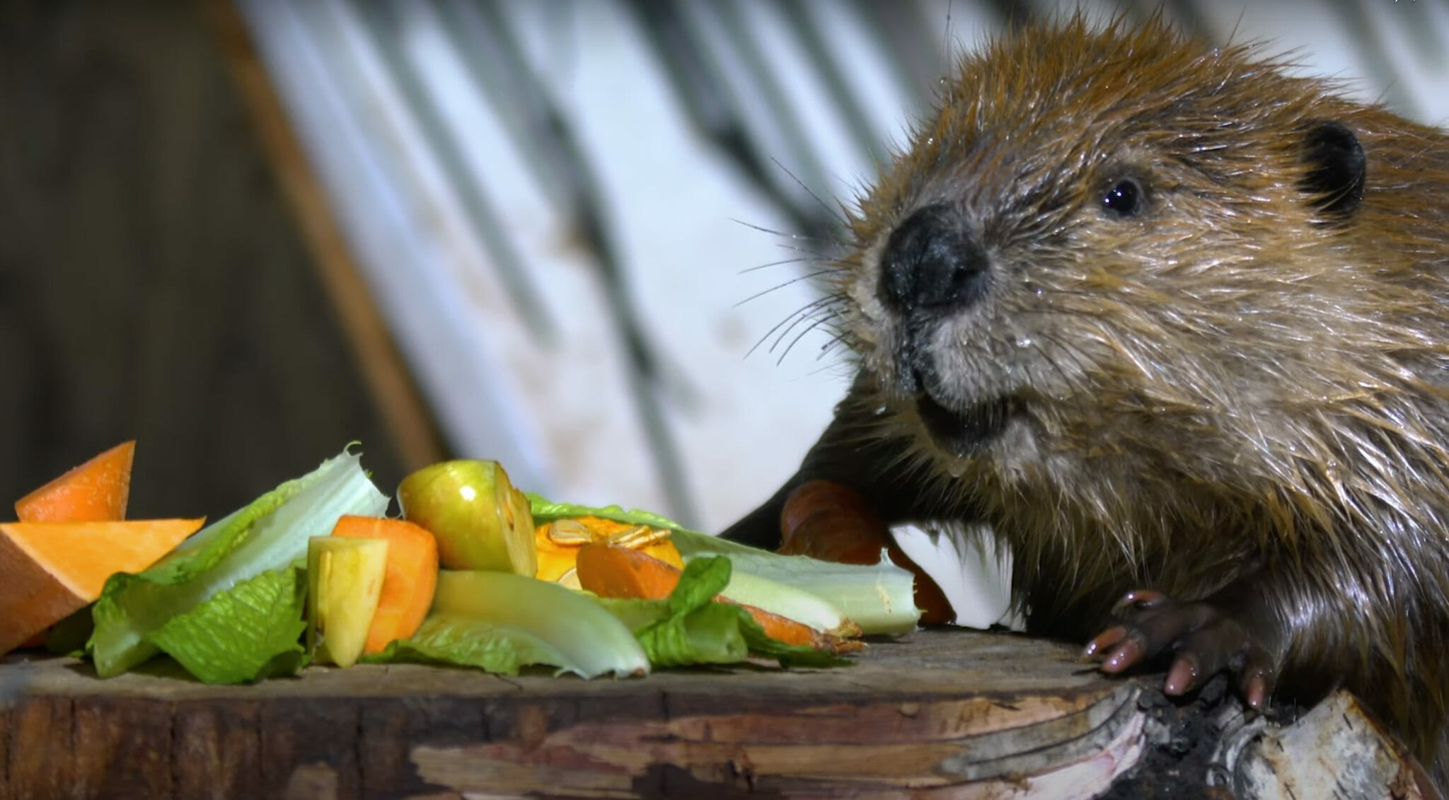 beaver at Wildlife Haven