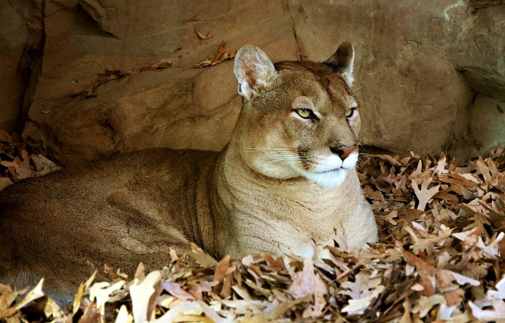 Rehabilitated Mountain Lion Overcomes Disease and Returns to the Wild