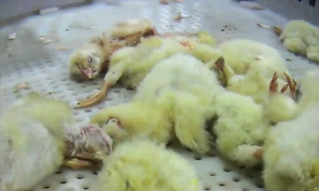 Chicks Mangled, Gassed, and Ground Up Alive at Major Chicken Hatchery, Undercover Investigation Alleges