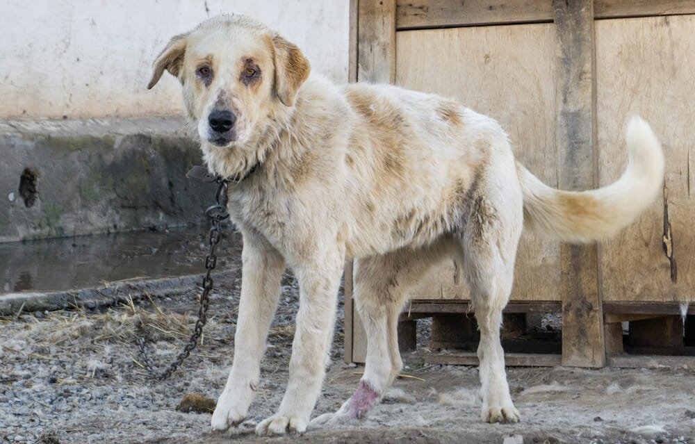 SIGN: Texas Law to Ban Dog Chaining IS BACK – Sign Now To Stop The Cruelty