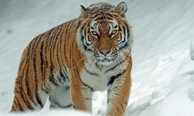 Wild Amur Tigers Rebound in China Following Positive Environmental Policy Changes