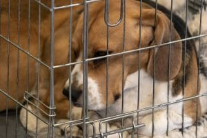 experiment beagle in cage