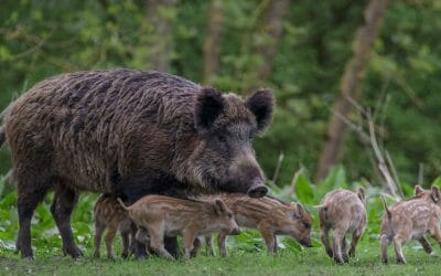 Wild Boar Rescues Two Piglets Caught in Wooden Trap