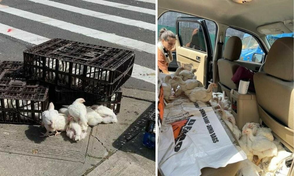 NYC Activists Race to Save Nearly 300 Chickens Who Fell Off the Back of a Delivery Truck