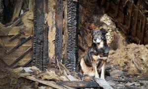 dog guarding burned building