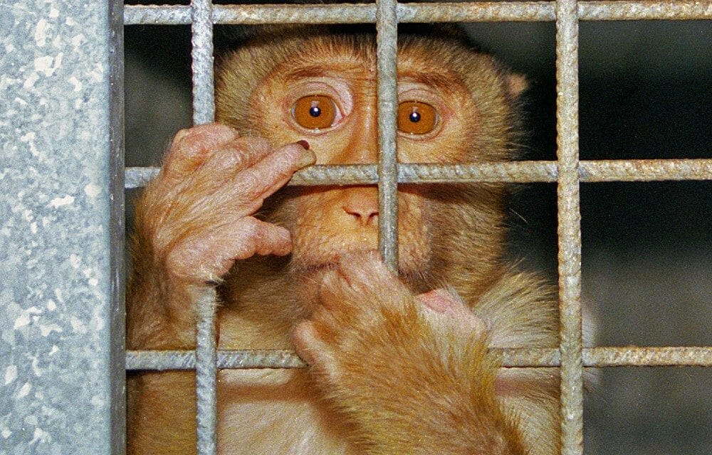 SIGN: Stop Funding Monkey Torture in US Labs
