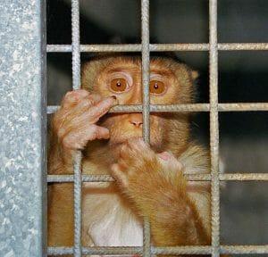 Monkey animal test
