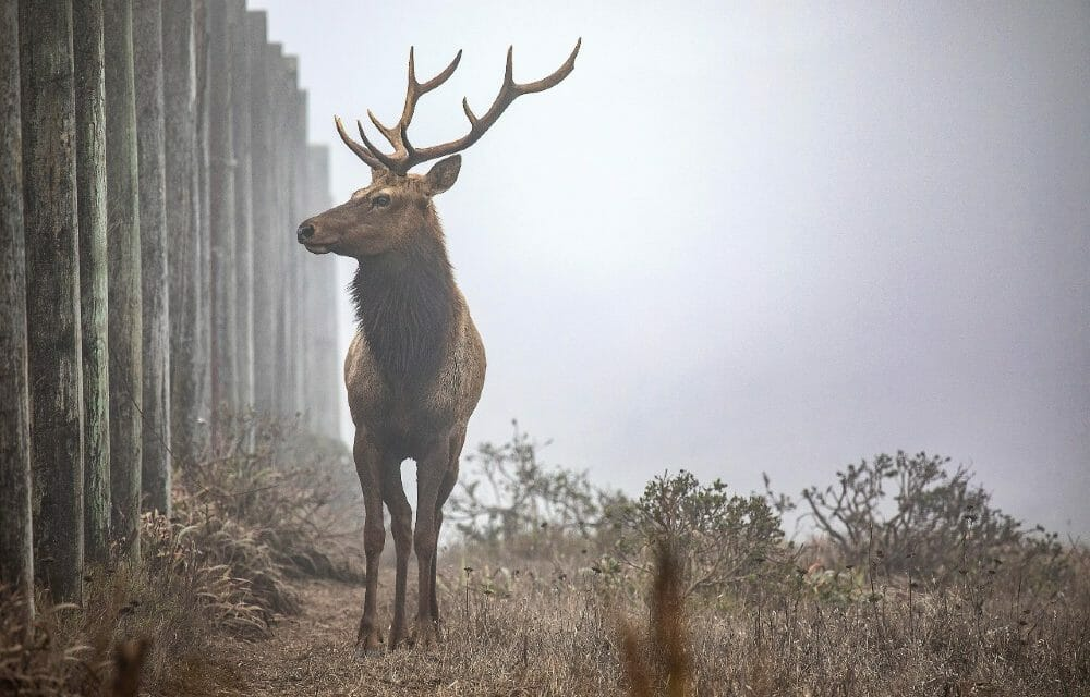 New Water Troughs Will Help Rare Tule Elk Survive Drought at Point Reyes– But Threats Remain