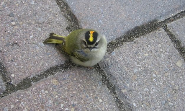 SIGN: Stop Deadly Collisions for NYC Songbirds by Turning Out Lights at Night
