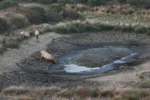 thirsty Tule elk
