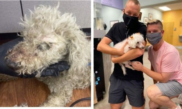 PETITION UPDATE: Petal the Blind, Senior Poodle Has a Loving New Home After Horrific Hog-Tying Abuse