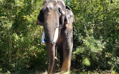 Bo, with metal caps on his tusks to protect them from cracking. Photo Credit: Elephant Refuge North America
