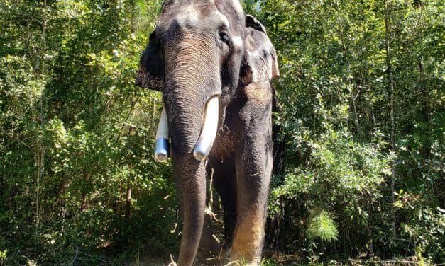 Bo the Former Circus Elephant Arrives at His New Forever Home at a Sanctuary