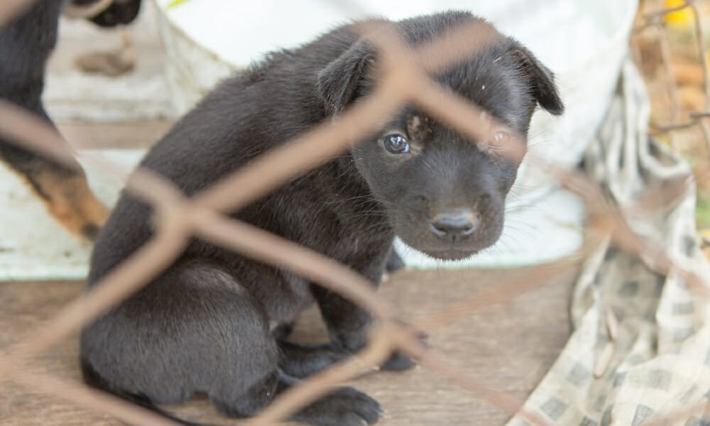 SIGN: Stop Smuggling Diseased, Wounded Puppies into the UK
