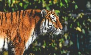 Sumatran tiger in the rainforest