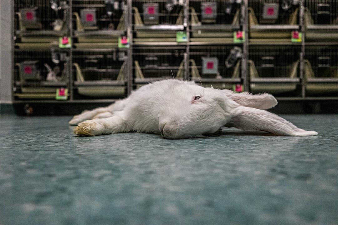 rabbit testing
