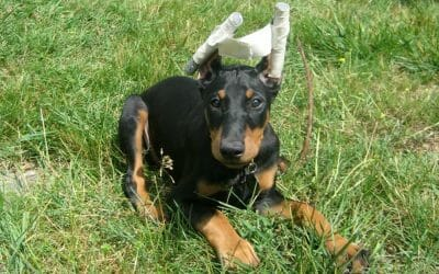 puppy with cropped ears