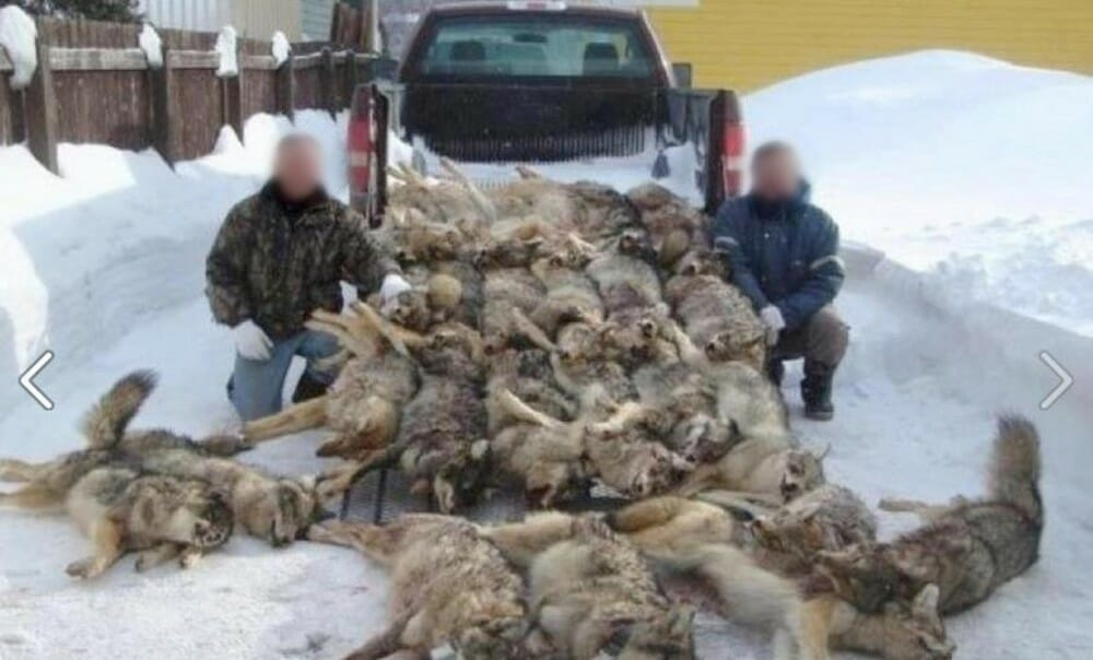 Wisconsin Sued By Conservation Groups Over Controversial Wolf Killings