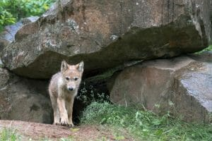 Gray wolf pup near den