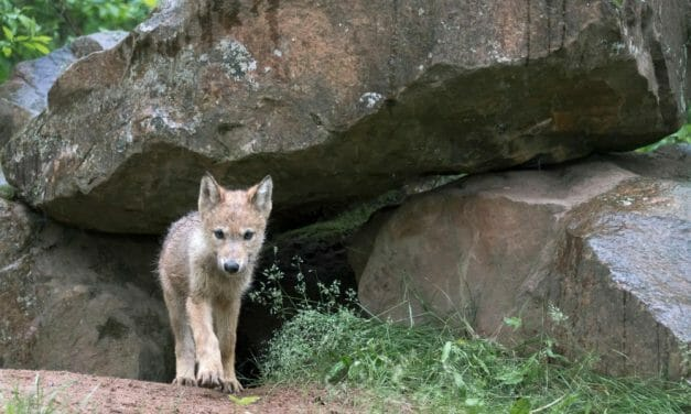 Eight Wolf Pups, Long-Studied by High School Students, Slaughtered By Federal Agents