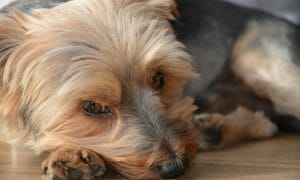 Small dog with a sad face looking at the camera.