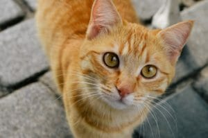 Orange and white tabby cat staring at camera