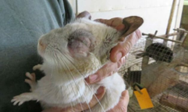 Chinchilla Ranch With Hundreds Of Horrific Violations Shut Down Following Activist Investigations, USDA Hearing