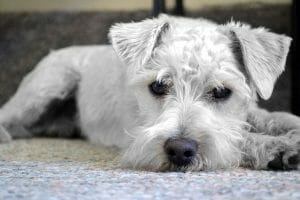 SIGN: Justice for Mini Schnauzer Beaten to Death With a Broom Handle